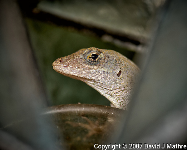 Looking at You. Brown Anole Lizard in St. Petersburg, Florida. Image taken with a Nikon D2xs and 105 mm f/2.8 VR macro lens (ISO 100, 105 mm, f/5.6, 1/250 sec). (David J Mathre)