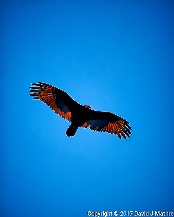 Turkey vulture soaring in the late afternoon sun. Winter nature in New Jersey. Image taken with a Nikon Df camera and 70-200 mm f/2.8 lens (ISO 400, 200 mm, f/2.8, 1/640 sec). (David J Mathre)