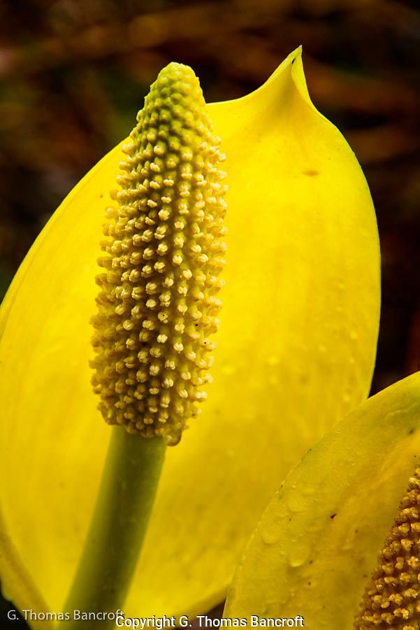 The flower stalk and yellow bract that partially surrounds the stalk form the flower on the Skunk Cabbage. (G. Thomas Bancroft)