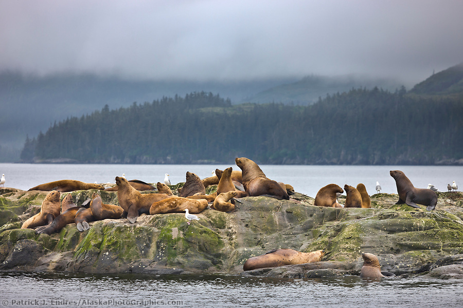 Marine wildlife photos: Steller sea lions, Prince William Sound, Alaska. (Patrick J. Endres / AlaskaPhotoGraphics.com)