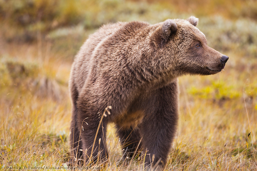Grizzly bear photos: Grizzly bear portrait on the autumn tundra in Sable pass, Denali National Park, Interior, Alaska. Ⓒ Patrick J. Endres / AlaskaPhotoGraphics.com