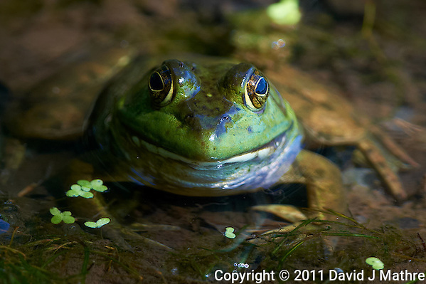 Kermit the Bullfrog at the Sourland Mountain Reserve. Image taken with a Nikon D3x and 500 mm f/4 VR lens (ISO 400, 500 mm, f/4, 1/400 sec). Raw image processed with Capture One Pro, Focus Magic, Nik Define, and Photoshop CS5. (David J Mathre)