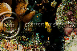 Threespot Damselfish Juvenile, Stegastes planifrons, Grand Cayman (Steven Smeltzer)