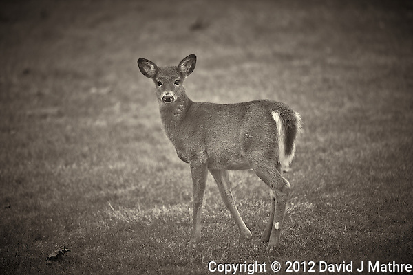 Late Fall Doe. Backyard Nature in New Jersey. Image taken with a Nikon D3x and 600 mm f/4 VR lens (ISO 100, 600 mm, f/4, 1/500 sec). Raw image processed with Capture One Pro 7 and Nik Silver Efex Pro 2. (David J Mathre)