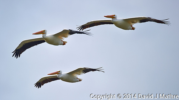 Three White Pelicans in Flight. Merritt Island National Wildlife Refuge in Florida. Image taken with a Nikon D3s camera and 80-400 mm VRII lens (ISO 200, 400 mm, f/5.6, 1/1000 sec). (David J Mathre)