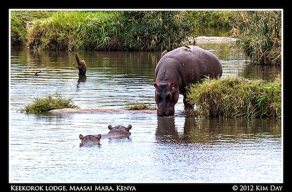 Birds Sit On Back Of Drinking Hippo.Hippo Pool At Keekorok Lodge @ Maasai Mara, Kenya.September 2012 (Kim Day)