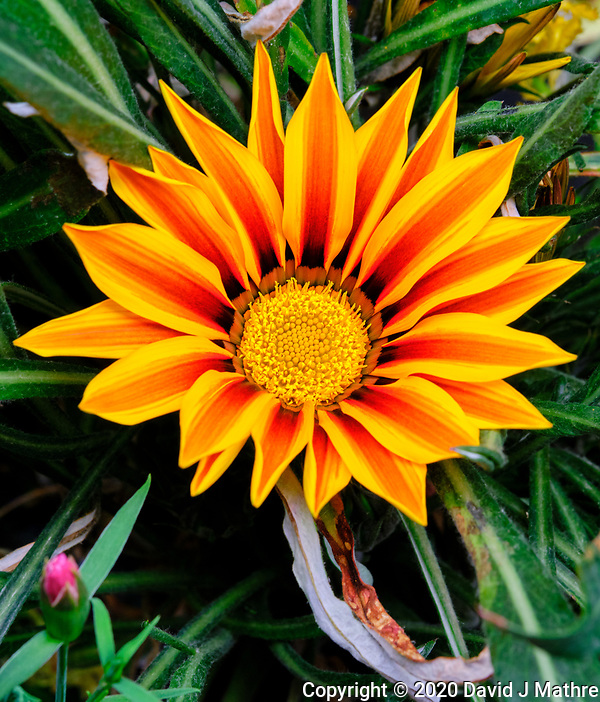 Orange Gazania. Image taken with a Fuji X-T3 camera and 80 mm f/2.8 macro lens (ISO 640, 80 mm, f/11, 1/60 sec) (DAVID J MATHRE)