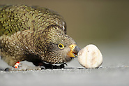 Kea (Nestor notabilis) Arthur's Pass, New Zealand | Kea oder Bergpapagei (Nestor notabilis); Keas sind sehr neugierig, sie versuchen alles ihnen unbekannte zu erforschen. Diese Eigenschaft nennt man Neophilie. Im Vergleich zu allen anderen Vögeln behält er diese Eigenschaft sein Leben lang. Arthur's Pass, Neuseeländische Alpen, Neuseeland. (Solvin Zankl)