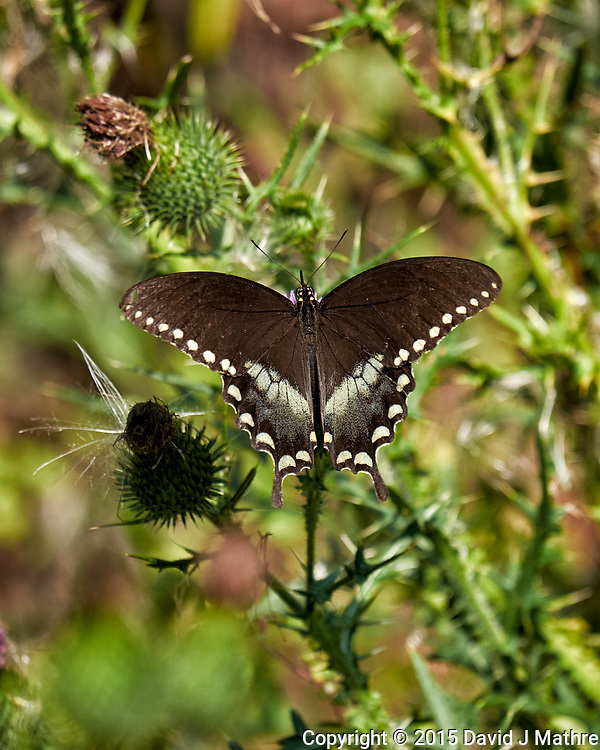 Spicebush Swallowtail Butterfly on a Thistle flower. Image taken with a Fuji X-T1 camera and 55-200 mm OIS lens. (David J Mathre)