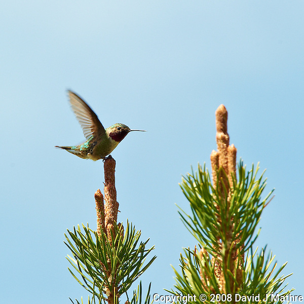 Male Broad-tailed Humming Bird at Lily Lake in Rocky Mountain National Park. Image taken with a Nikon D3 and 70-200 mm f/2.8 VR lens + TC-E II 20 teleconverter (ISO 500, 400 mm, f/11, 1/400 sec). Raw image processed with Capture One Pro, Focus Magic, and Photoshop CS5. (David J Mathre)