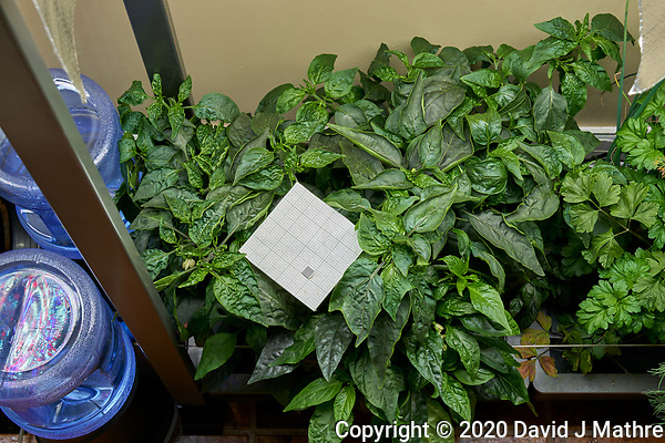 AeroGarden Farm 02, Left. Pepper Plants (143 days). Image taken with a Leica TL-2 camera and 35 mm f/1.4 lens (ISO 200, 35 mm, f/8, 1/30 sec). (DAVID J MATHRE)