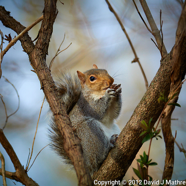 Squirrel with an acorn in the afternoon sun. Winter nature in New Jersey. Image taken with a Nikon 1 V1 camera, FT1 adapter, and 200 mm f/2 VR lens (ISO 100, 200 mm, f/2.5, 1/800 sec). (David J Mathre)