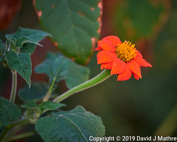 Mexican Sunflower. Image taken with a Nikon D810a camera and 70-300 mm VR lens (DAVID J MATHRE)