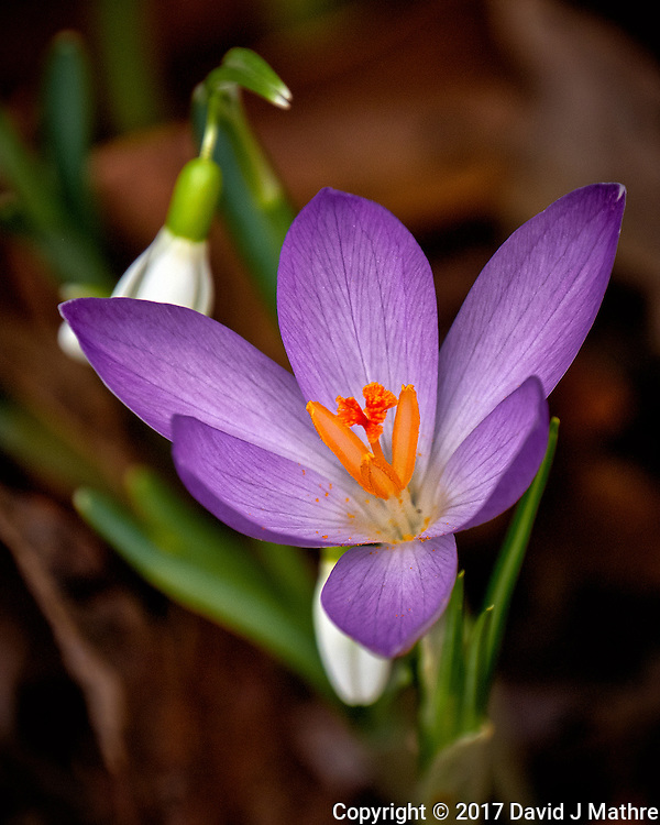 First Hint of Spring -- Early crocus flowers across the street. Winter nature in New Jersey. Image taken with a Fuji X-T2 camera and 100-400 mm OIS lens (ISO 200, 400 mm, f/5.6, 1/500 sec) (David J Mathre)