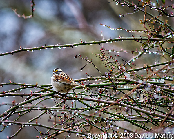 White-throated sparrow in the vines after a morning rain. Late winter backyard nature in New Jersey. Image taken with a Nikon D300 camera and 80-400 mm VR lens (ISO 500, 400 mm, f/5.6, 1/250 sec). (David J Mathre)
