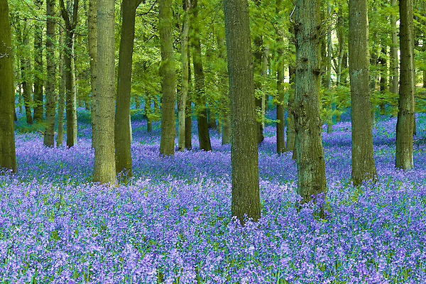 Bluebells growing in Ashridge forest (unknown)