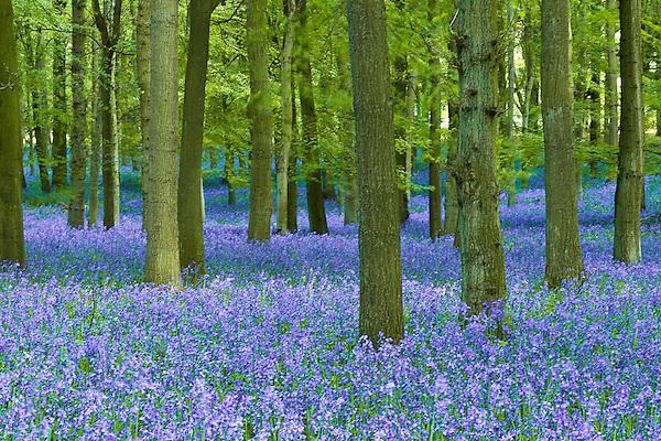 Bluebells growing in Ashridge forest (unknown)