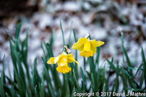 Twin daffodils after a quick snowfall. Winter nature in New Jersey. Image taken with a Nikon Df camera and 70-200 mm f/2.8 lens (ISO 400, 200 mm, f/2.8, 1/125 sec). (David J Mathre)