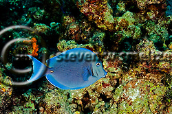 Blue Tang, Acanthurus coeruleus, Bloch &amp; Schneider, 1801, Grand Cayman (StevenWSmeltzer.com)