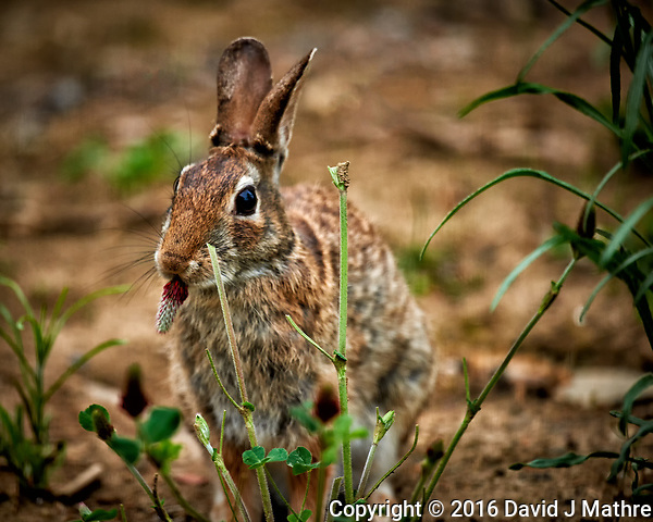 Rabbit nibbling on a Italian clover flower. Backyard spring in New Jersey. Image taken with a Nikon D3x camera and 600 mm f/4 VR lens (ISO 800, 600 mm, f/4, 1/500 sec). (David J Mathre)