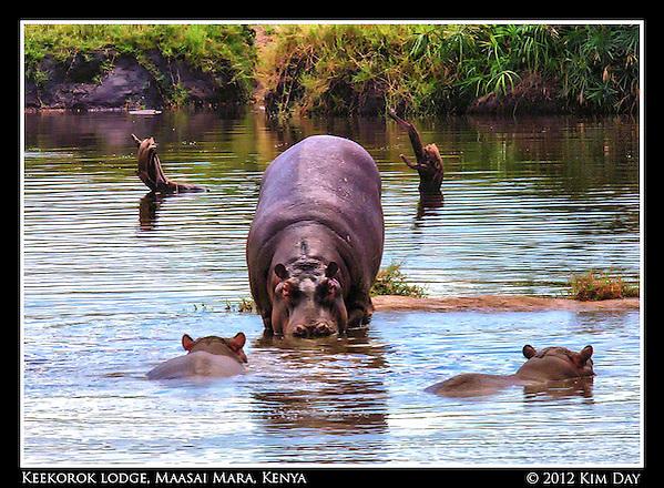 Into The Water.Keekorok Lodge, Maasai Mara, Kenya.September 2012 (Kim Day)