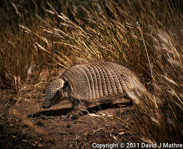 Piche (Armadillo) at a rest area along the southern edge of Lago Viedma, Argentina. Image taken with a Nikon D3s and 70-300 mm VR lens (ISO 200, 300 mm, f/11, 1/640 sec.) (David J Mathre)