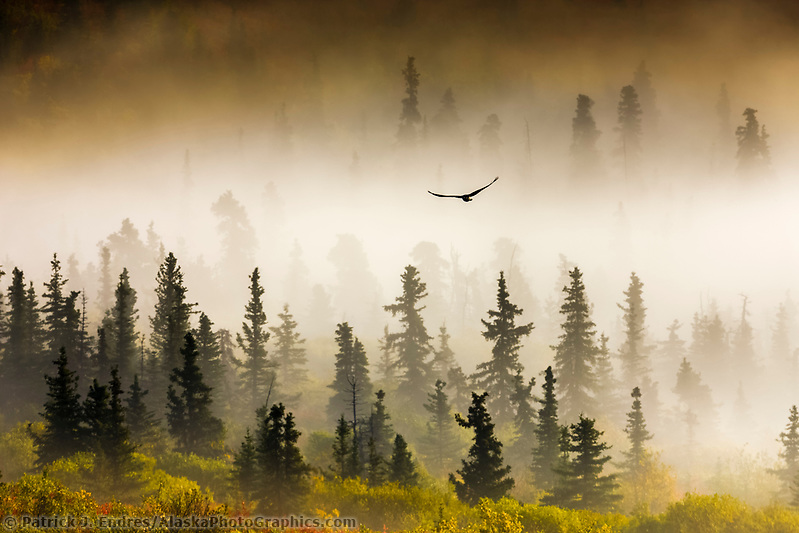 Raven flies through spruce trees in the morning fog, Denali National Park, interior, Alaska. (Patrick J. Endres / AlaskaPhotoGraphics.com)