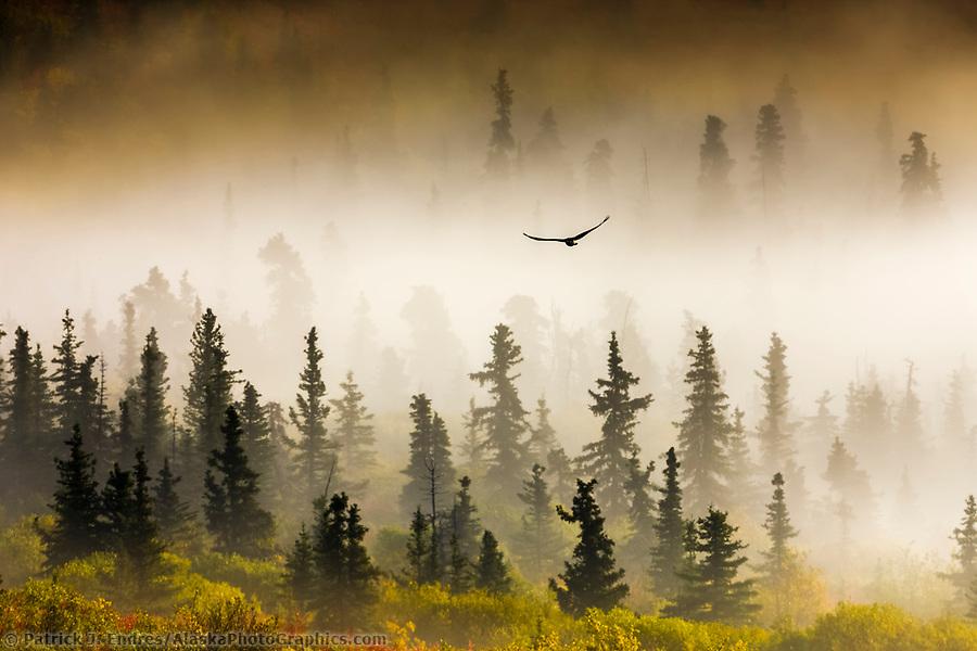 Raven flies through spruce trees in the morning fog, Denali National Park, Interior, Alaska. (Patrick J. Endres / AlaskaPhotoGraphics.com)