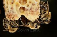 Honey bee (Apis mellifera), Kiel, Germany | Im Bild sind zwei Königinnenzellen (Weiselzelle) der Honigbiene (Apis mellifera) zu sehen. Die Zellen werdnen von Arbeiterinnen gepflegt. Die beiden rechten Arbeiterinnen übergeben sich Nektar. Kiel, Deutschland (Solvin Zankl)