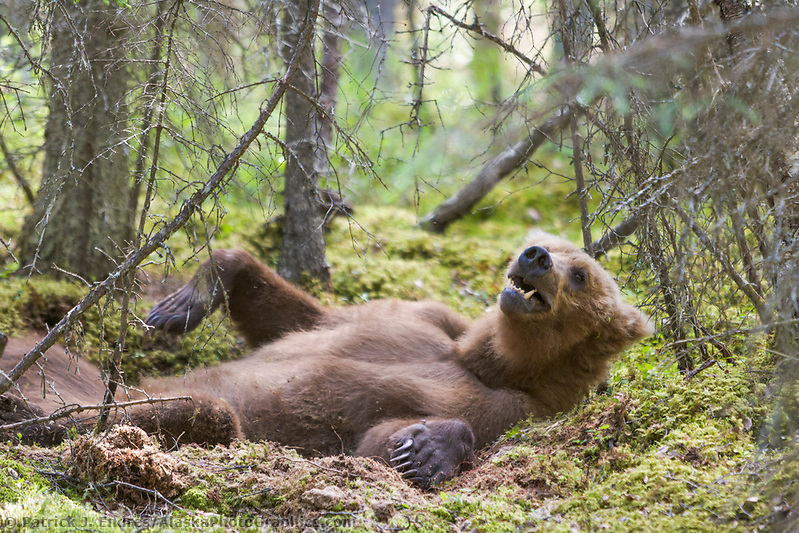 Brown bear lays in the moss of the forest floor along a trail in Katmai National Park, Alaska Ⓒ Patrick J. Endres / AlaskaPhotoGraphics.com