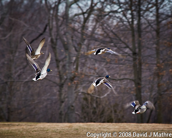 Mallard Ducks in flight at the Sourland Mountain Preserve. Image taken with a Nikon D300 camera and 80-400 mm VR lens (ISO 360, 400 mm, f/8, 1/250 sec). (David J Mathre)