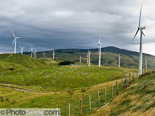Sheep graze in a pasture beneath Tararua Wind Farm, largest in the Southern Hemisphere. Location: North Island of New Zealand, 10 km northeast of Palmerston North on a ridge in the Tararua Ranges.