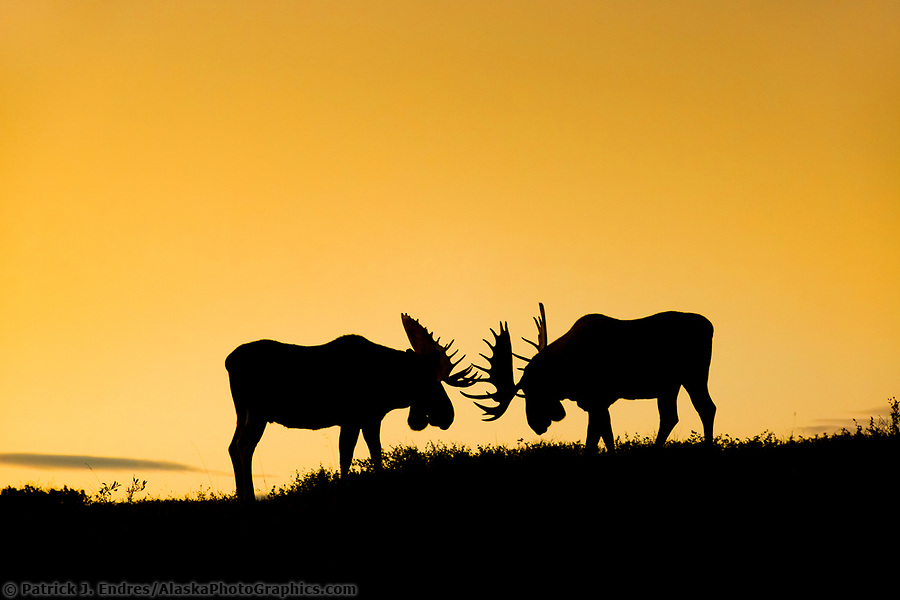 alaska wildlife photos: Two silhouetted bull moose spar on a mountain ridge in Denali National Park, Interior, Alaska (Patrick J Endres / AlaskaPhotoGraphics.com)