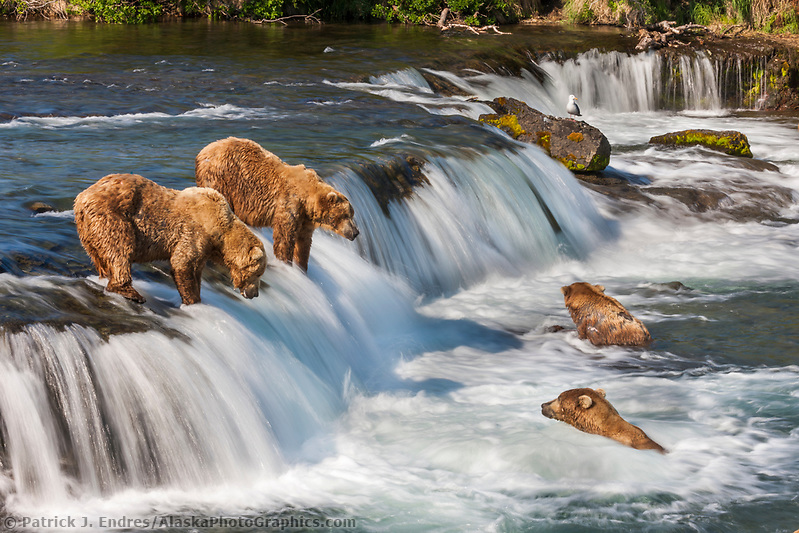 Brown bears fish for red salmon in the Brooks River, Katmai National Park, southwest, Alaska. Ⓒ Patrick J. Endres / AlaskaPhotoGraphics.com