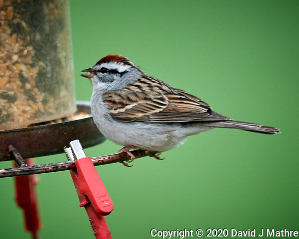 Chipping Sparrow. Image taken with a Nikon D5 camera and 600 mm f/4 VR lens (ISO 1600, 600 mm, f/5.6, 1/50 sec) (DAVID J MATHRE)