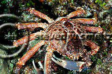Channel clinging crab, Mithrax spinosissimus, (Lamarck, 1818), Grand Cayman (Steven W Smeltzer)