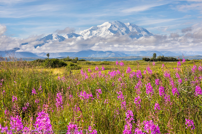 Denali National Park photos: Pink fireweed blossoms and Denali, North America's tallest mountain. Denali National Park (Patrick J Endres / AlaskaPhotoGraphics.com)