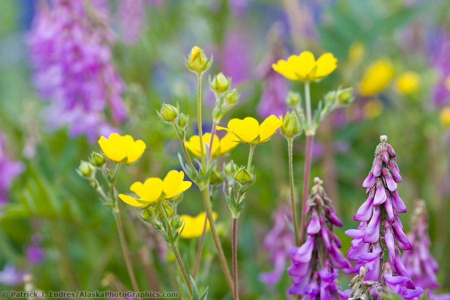 Wildflowers along the Richardson highway, Interior, Alaska (Patrick J. Endres / AlaskaPhotoGraphics.com)