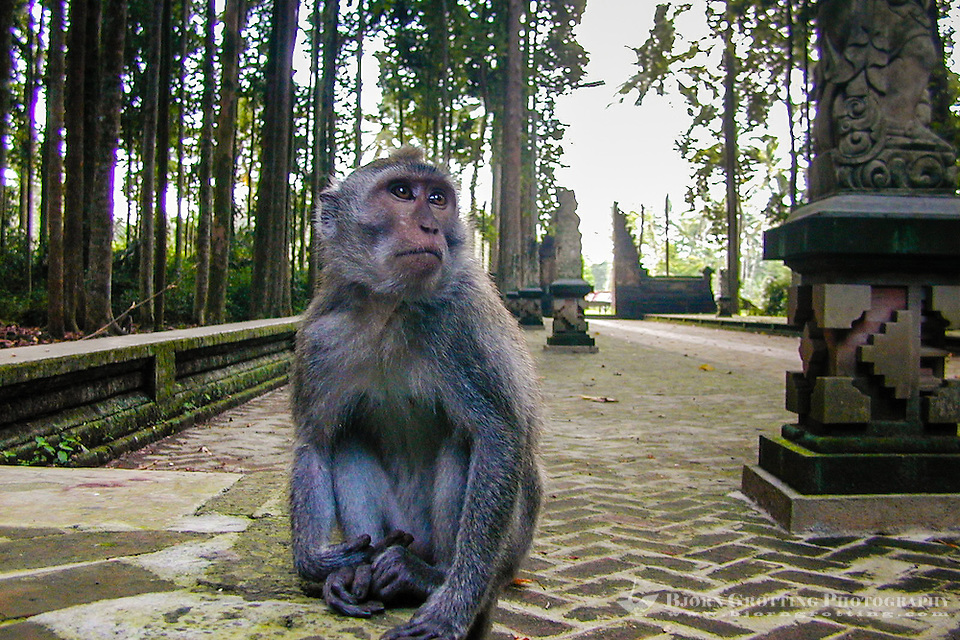 Bali, Badung, Sangeh. Macaque in the monkey forest. This is my kingdom, and I am the king! (Photo Bjorn Grotting)