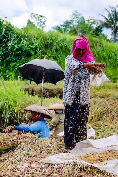 Bali, Gianyar, Bedulu. Cleaning and packing of the rice before it is sent to the factory for further processing. (Photo Bjorn Grotting)