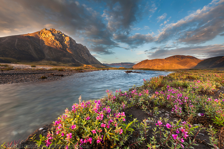 Midnight sunset over dwarf fireweed, or river beauty, along the Marsh Fork of the Canning River in the Arctic National Wildlife Refuge in the Brooks Range mountains, Alaska. (Patrick J Endres / AlaskaPhotoGraphics.com)