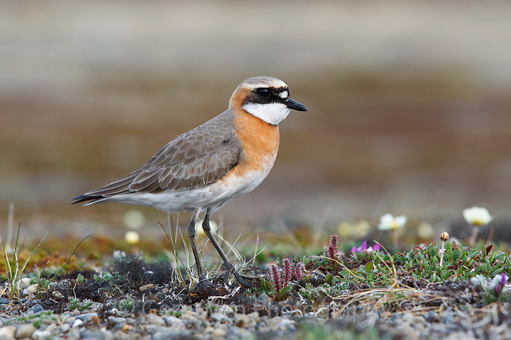 Male Lesser Sand Plover (Charadrius mongolus). Chukotka, Russia. June. (Gerrit Vyn)