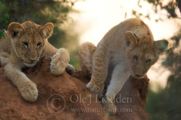 Lion (Panthera leo) cubs in Masai Mara (Ole Jørgen Liodden)