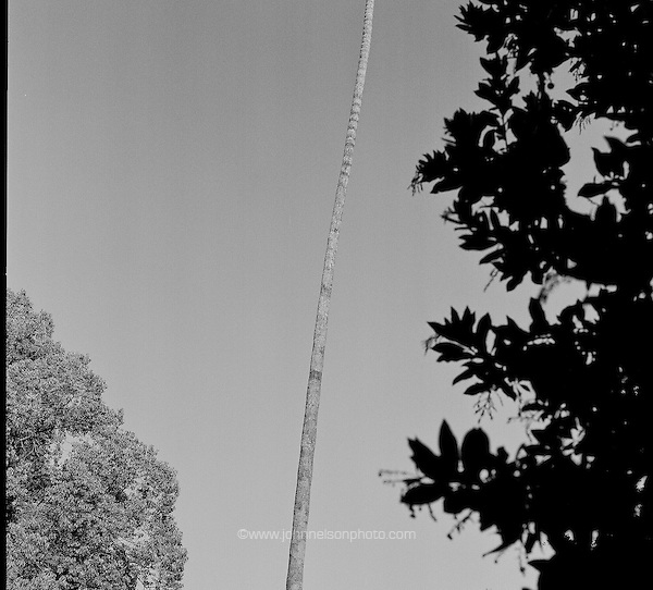 palm tree, Pasadena, CA (John Nelson)