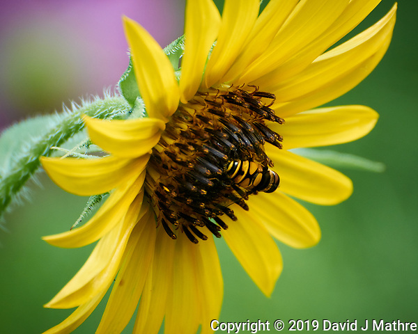 Hoverfly on a Sunflower. Image taken with a Nikon 1 V3 camera and 70-300 VR lens. (DAVID J MATHRE)