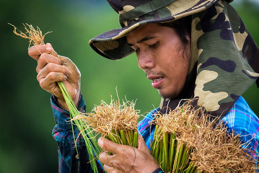 A Thai farmer, Sunthon Saphirat, transplants rice at the start of the Thai growing season in Nakhon Nayok, ‪Thailand‬ Aug 03, 2016. PHOTO BY LEE CRAKER (Lee Craker, Lee Craker/Lee Craker)