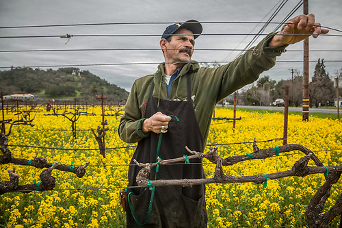 As spring approaches, field worker Felix Rodriguz wades through mustard flowers while tieing up branches prior to the first growth of grape vines near Oakville in California's Napa County. (Clark James Mishler)