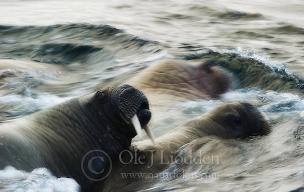 Walrus at Svalbard (Ole Jørgen Liodden)