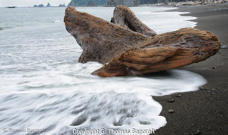 This large log was sitting solid in the surf and the waves were not strong enough to move it.    The next big storm may take this back to sea or push it higher on the beach.  What does it look like to you?  A large butterfly? (G. Thomas Bancroft)