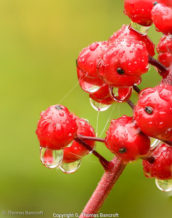 Water droplets and splider web strands formed a fascinating design on this baneberry clump in the Salmo-Priest Wilderness. (G. Thomas Bancroft)